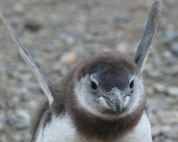 Punta Arenas, Chile - Penguins